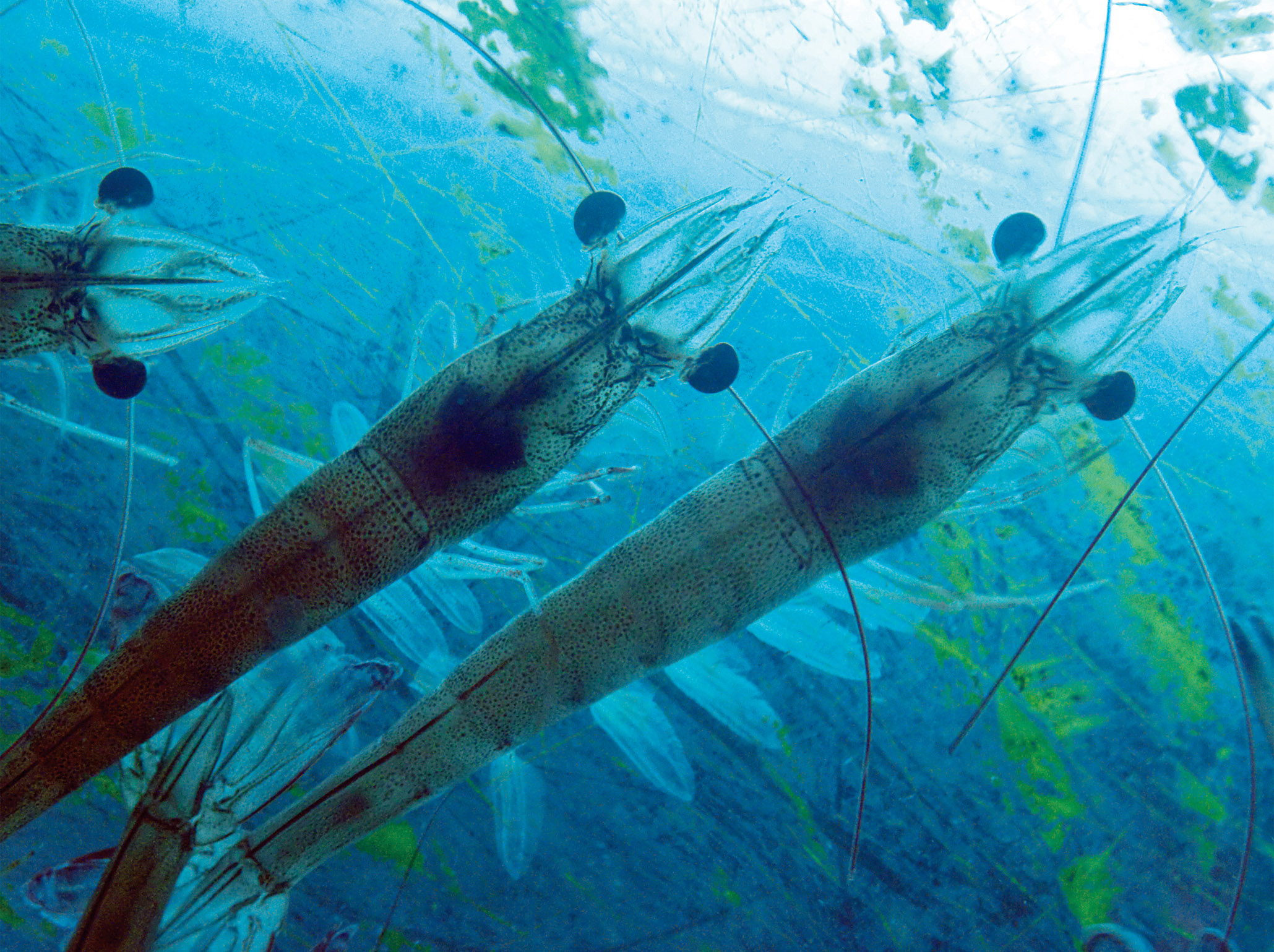 crustacean-aqua