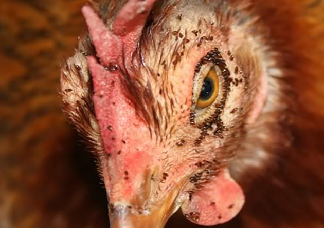 poultry mite